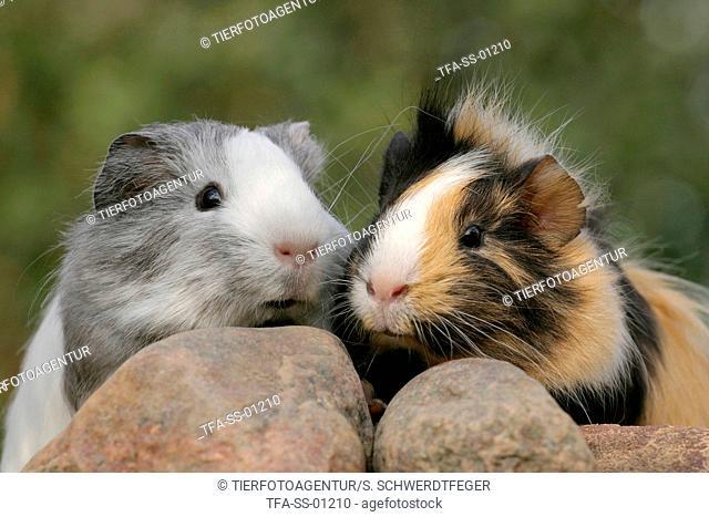 2 guinea pigs