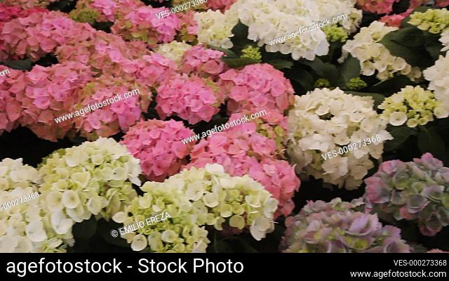 Hortensias for sale