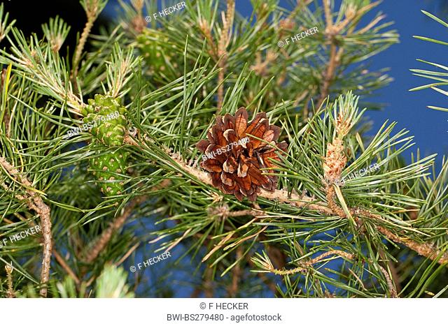 Scotch pine, scots pine Pinus sylvestris, branch with yung and old cone, Germany