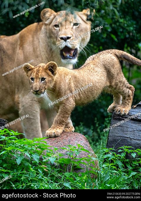 30 June 2021, Saxony, Leipzig: A lion cub at Leipzig Zoo roams the lion savannah enclosure together with mother lion Kigali