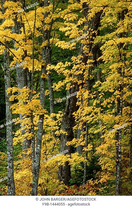 Sugar maple Acer saccharum displays fall color in northern hardwood forest, White Mountain National Forest, northern New Hampshire, USA