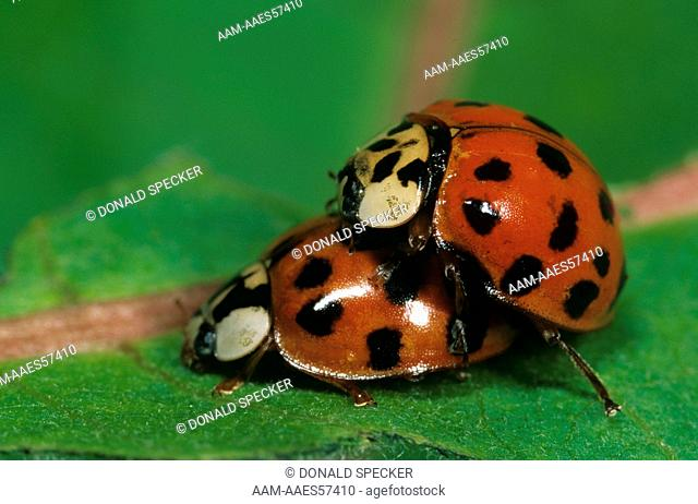 Asian Lady Beetles mating, S. Vermont, introduced (Harmonia axyridis)