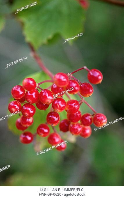 Viburnum, Viburnum opulus, Red subject