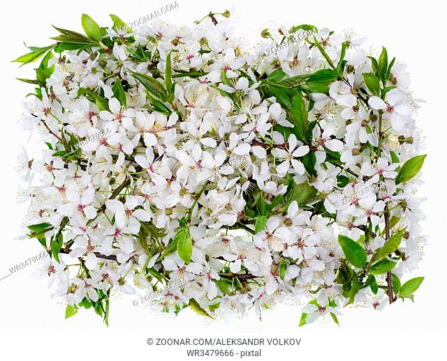 The medallion - banner - made of white flowers of spring wild plum tree. Isolated on white