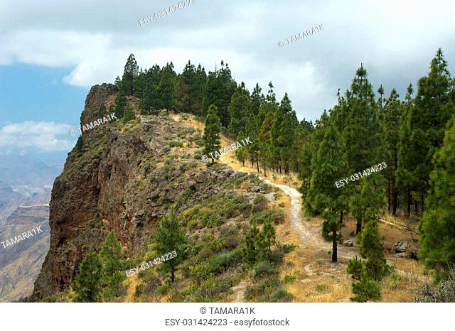 Inland Central Gran Canaria, Artenara area, Canarian Pine trees growing on the slopes