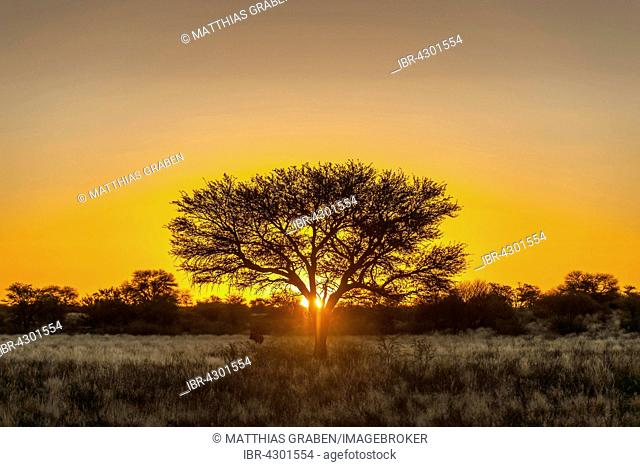 Camel thorn (Vachellia erioloba) at sunset, Nossob Road, Kgalagadi Transfrontier Park, Northern Cape, South Africa