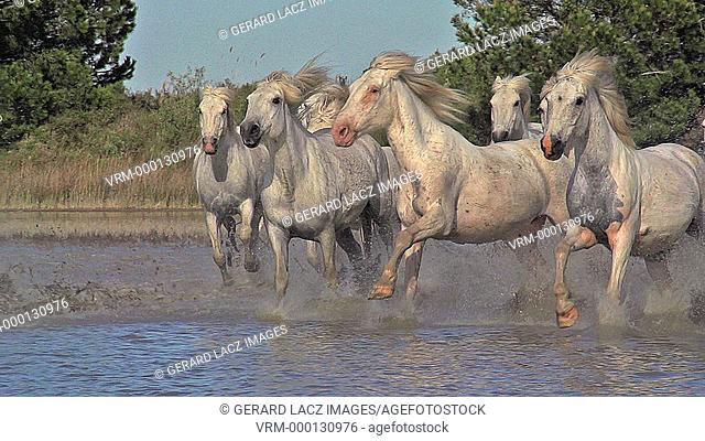 Camargue Horse, Herd galloping through Swamp, Saintes Marie de la Mer in Camargue, in the South of France, Slow Motion