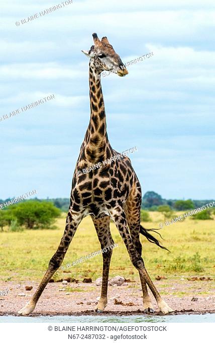 Giraffe at a watering hole drinking water, Nxai Pan National Park, Botswana