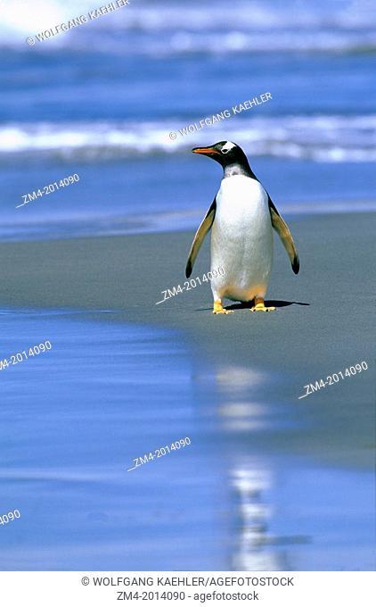 FALKLAND ISLANDS, SEA LION ISLAND, GENTOO PENGUIN ON BEACH