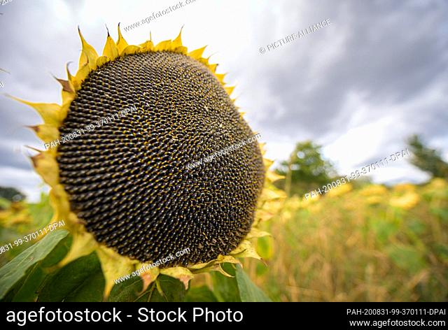 27 August 2020, Brandenburg, Trebbin/Ot Thyrow: A ripe sunflower stands in a field shortly after leaving the village. The dying leaves and yellowish basket...