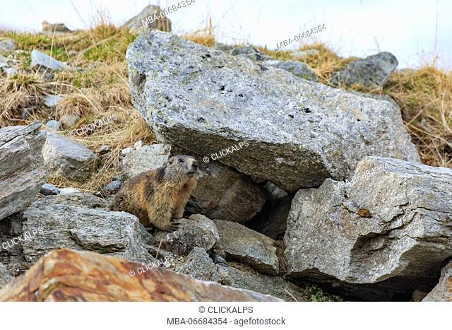 Marmot (Marmota marmota), Sondrio, Italy