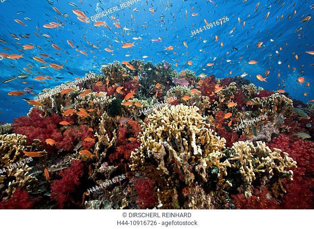 Lyretail Anthias, Coral Reef, Pseudanthias squamipinnis, Gau, Lomaiviti, Fiji, Anthia, Anthias, Lyretail Anthias, Basslets, Coral fishes, Coalfish, Coral Fishes