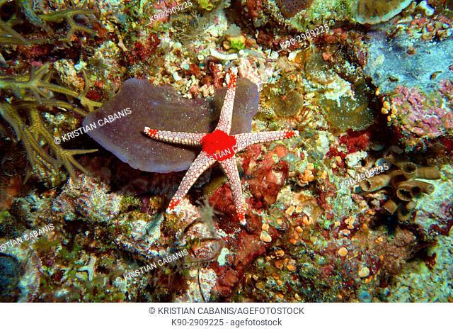 Starfish, Raja Ampat, Papua, Indonesia, Southeast Asia