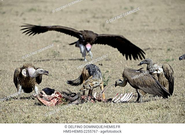 Kenya, Masai Mara Reserve, reserve, backed Vulture (Gyps africanus), Lappet-faced Vulture (Torgos tracheliotos) chabraque Jackal (Canis mesomelas) fighting over...