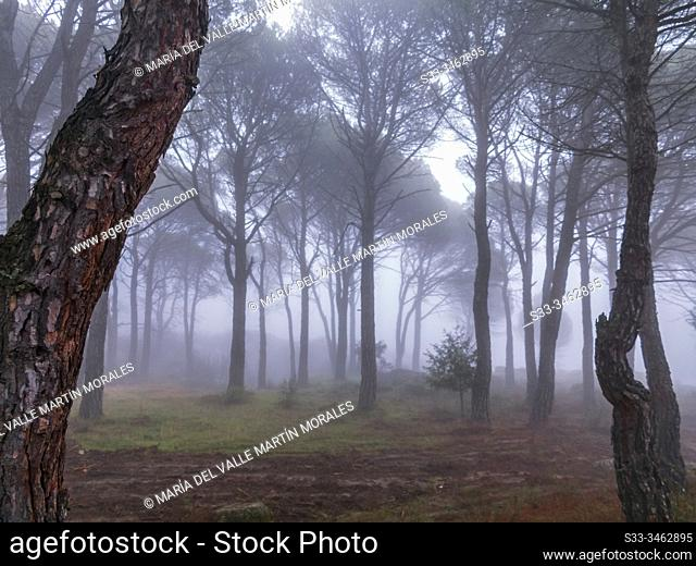 Fog in Concejo pinewood. Cadalso de los Vidrios. Madrid. Spain. Europe
