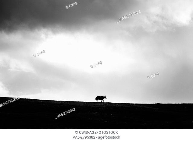 A lonely ox on the mountain in black and white