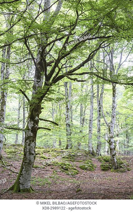 Beechwood. Otsaportillo route. Urbasa-Andia Natural Park. Navarre, Spain, Europe