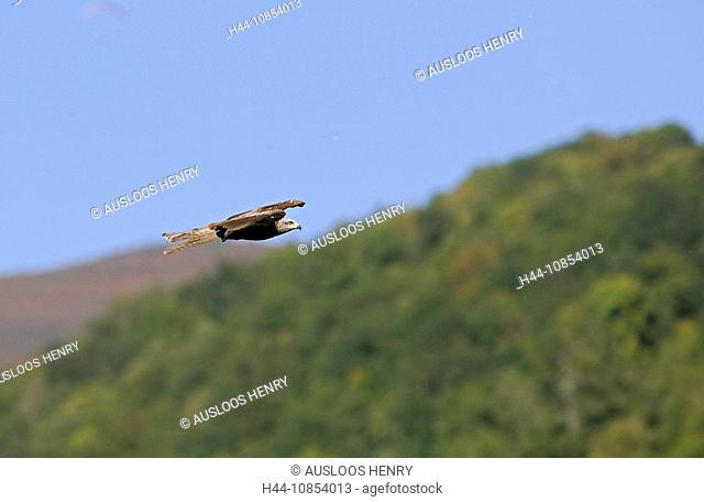 10854013, Red Kite, Milvus milvus, Animal, Animals