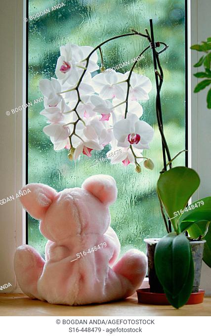 """Stuffed animal """"looking"""" outside, sitting by the window, beneath an orchid flower"""