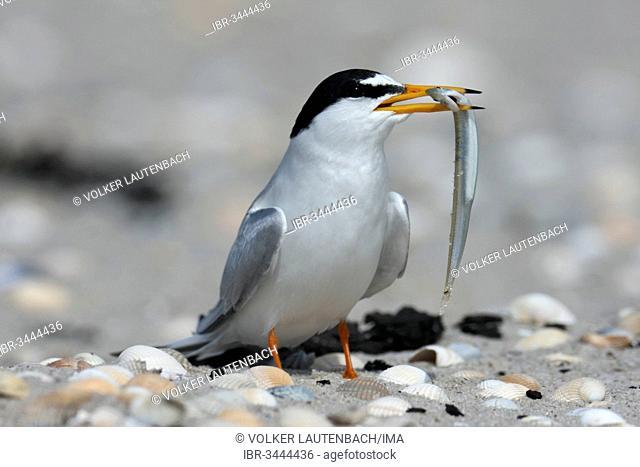 Little Tern (Sterna albifrons) with sandeel
