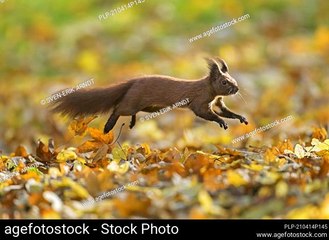 Cute Eurasian red squirrel (Sciurus vulgaris) leaping in leaf litter on the forest floor in autumn