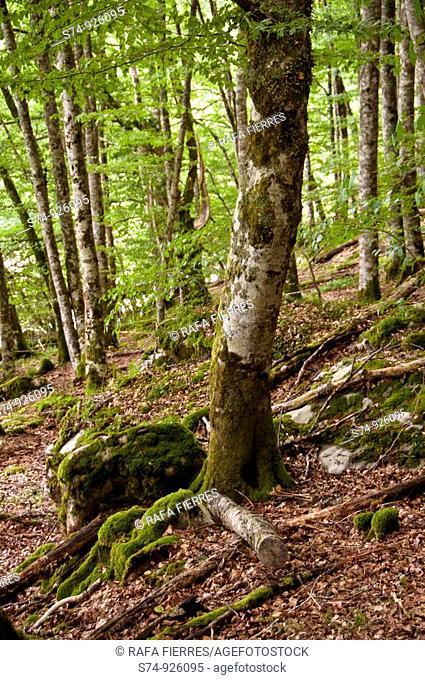 Hayas en la Selva de Irati, Navarra, Spain
