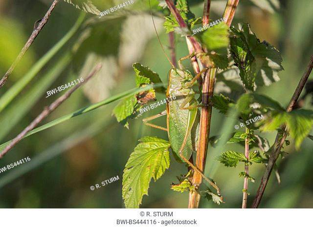 Twitching green bushcricket, Twitching green bush cricket, Twitching green bush-cricket (Tettigonia cantans), hiding between leaves, side view, Austria, Tyrol