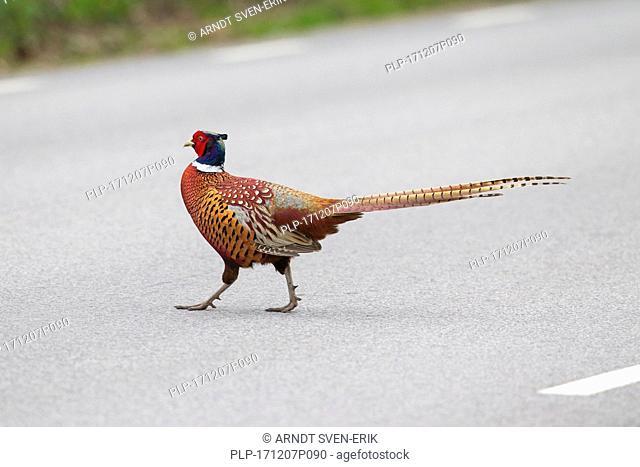 Common pheasant / Ring-necked pheasant (Phasianus colchicus) cock crossing concrete road in spring