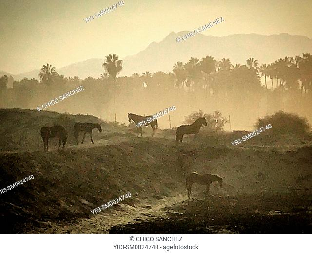 Horses at sunrise in the beach in the Pacific Ocean coast in Todos Santos, Baja California, Mexico