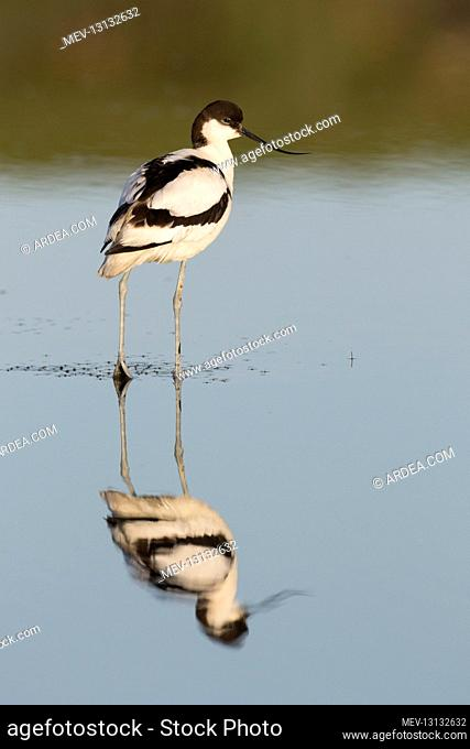 Avocet - bird in shallow water - Germany
