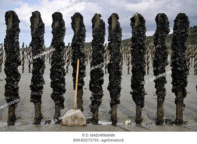 blue mussel, bay mussel, common mussel, common blue mussel (Mytilus edulis), mussel cultivation at piles in Jospinet, France, Brittany, Planguenoual