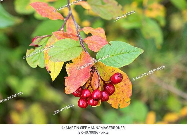 Berries on alder buckthorn (Frangula alnus), Bavaria, Germany