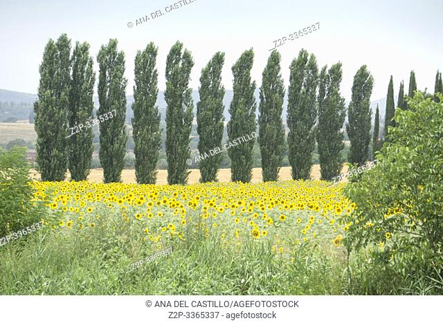 Sunflower field in Buonconvento Tuscany Italy