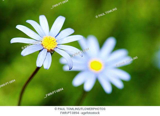 Daisy, Blue daisy, Felicia amelloides