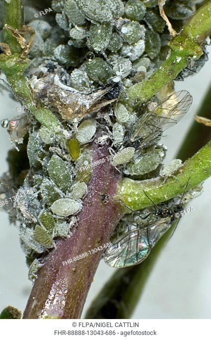 Mealy cabbage aphid, Brevicoryne brassicae, colony of females, alates, juveniles on a brassica stem, June