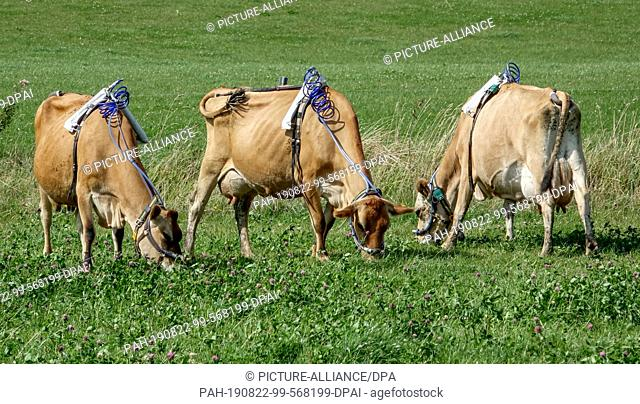 dpatop - 22 August 2019, Schleswig-Holstein, Noer: Three cows stand on a pasture of the Lindhof sample with bound measuring devices