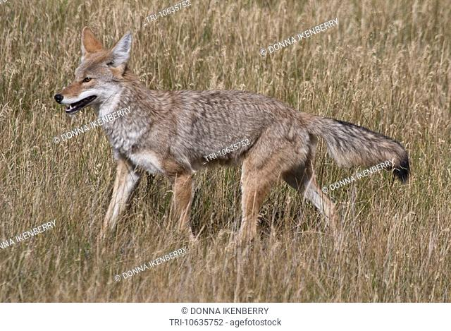 Coyote Canis latrans hunting Yellowstone National Park Wyoming USA