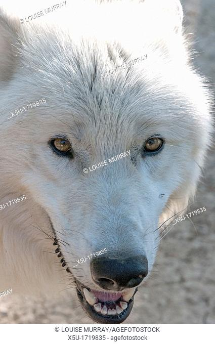 White variant of the North American timber wolf at the Wolf Science Centre in Ernstbrunn in Austria