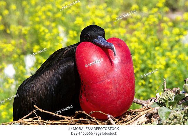 Midway, Sand Island, Great Frigatebird (Fregata minor ridgwayi)