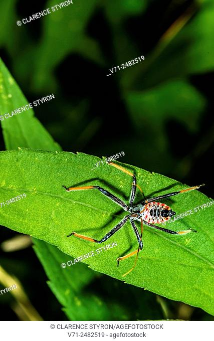Wheeled Assassin Bug (Arilus cristatus) Hunting on Leaf