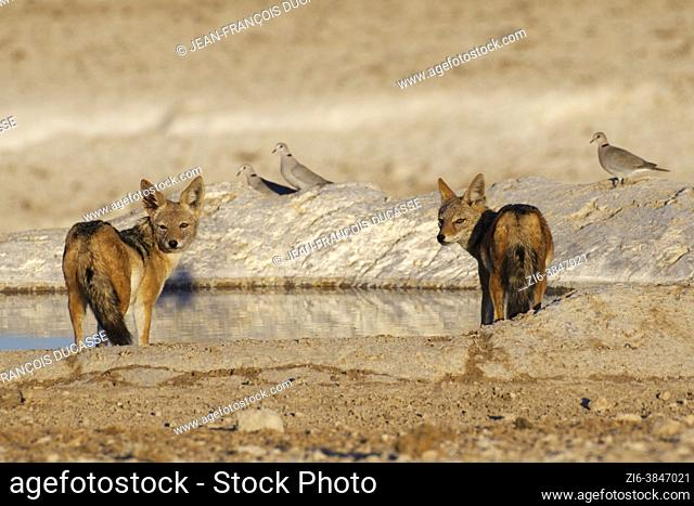 Black-backed jackals (Canis mesomelas) standing at the waterhole in the evening sun, alert, three ring-necked doves (Streptopelia capicola) at back