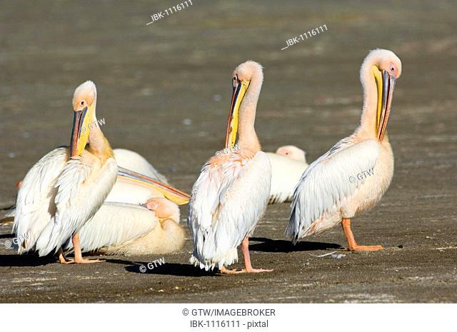 Great White Pelicans (Pelecanus onocrotalus), Lake Nakuru National Park, Kenya, East Africa