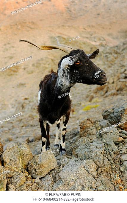 Domestic Goat, adult, standing on rocks, cause of complete overgrazing of vegetation on island, Samha island, Socotra, Yemen, march
