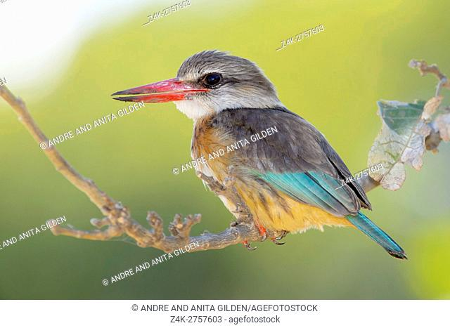 Brown-hooded kingfisher (Halcyon albiventris) on a twig, Kruger National Park, South Africa, Africa