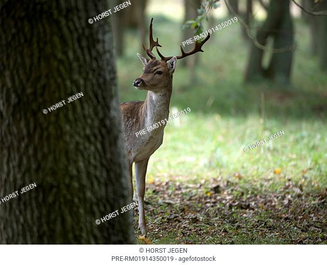 Fallow deer in forest, Dama dama, Germany, Europe / Damhirsch, Dama dama, Deutschland, Europa