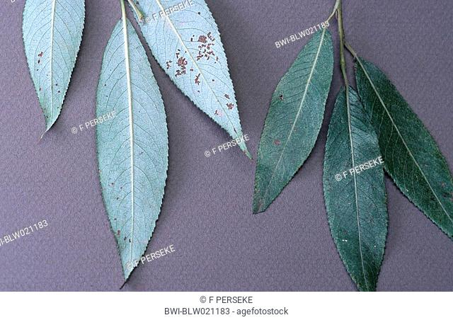 white willow Salix alba
