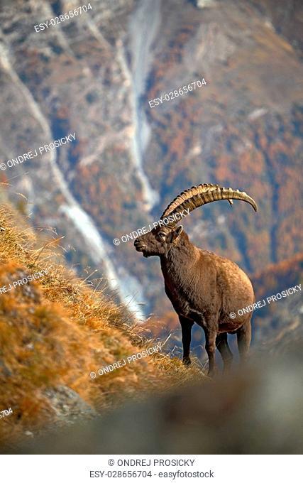 Alpine Ibex, Capra ibex ibex