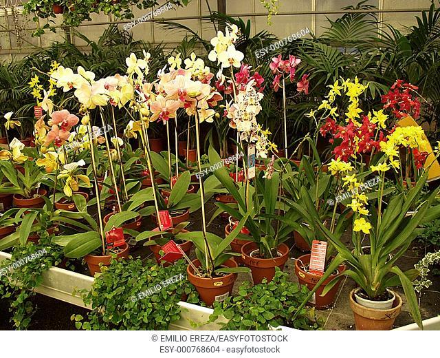 Orchid: Paphiopedilium  Cambria, Zygopetalum, Phalaenopsis  Garden Center  Cambrils Tarragona