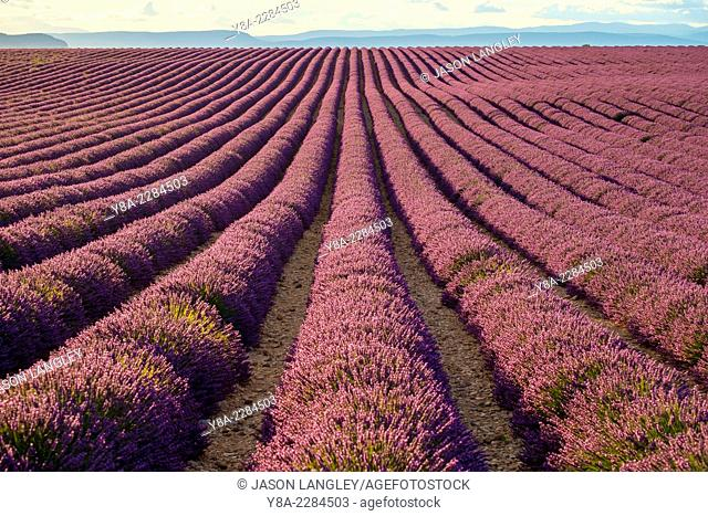 A young woman standing alone between rows of purple lavender in bloom in a field on the Plateau de Valensole, near Valensole, Provence-Alpes-Côte d'Azur, France