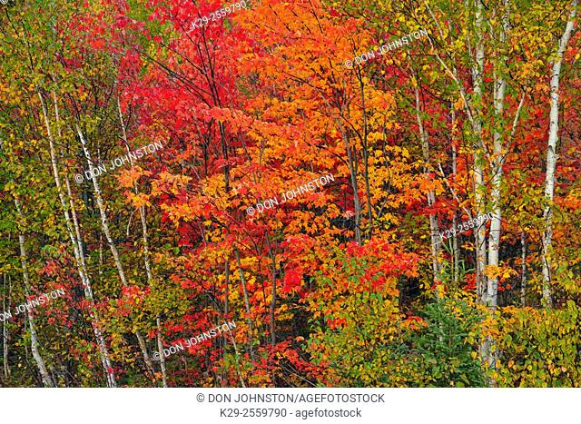 Autumn foliage in a mixed hardwood forest, Greater Sudbury, Ontario, Canada